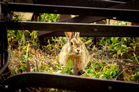 Cottontail Hidout